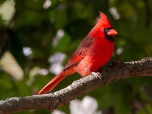 cardinal-1003-2